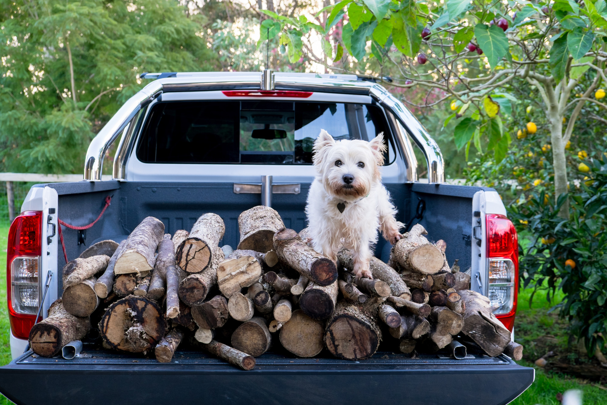 dog on pickup truck